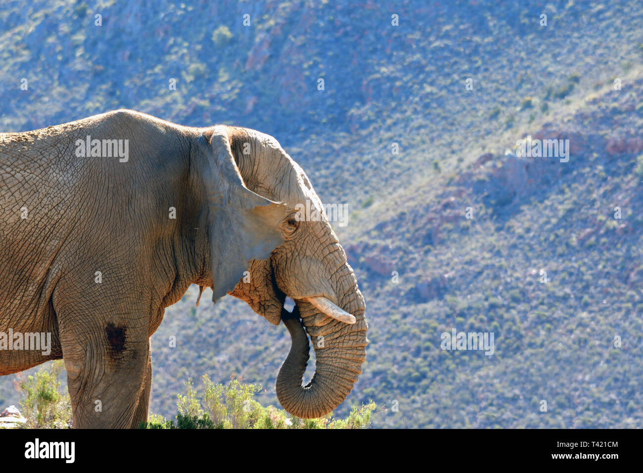 African Elephants in the wild Stock Photo