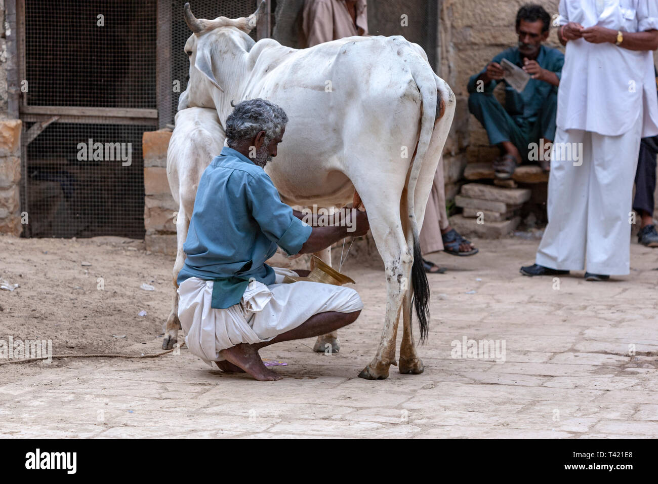Man in charge of milk cows in Jaisalmer, Rajasthan, India - Stock Image