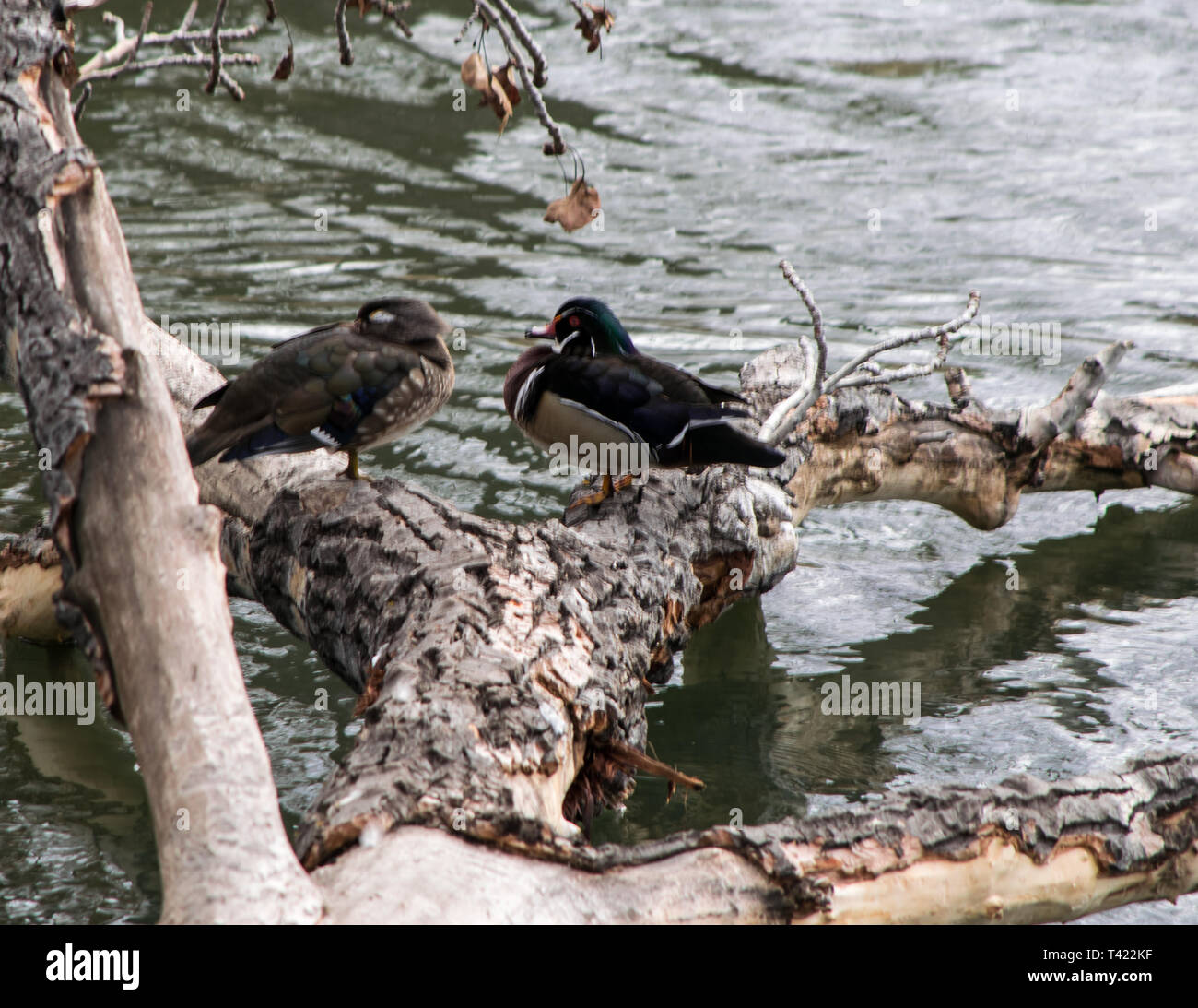Wood ducks - Stock Image