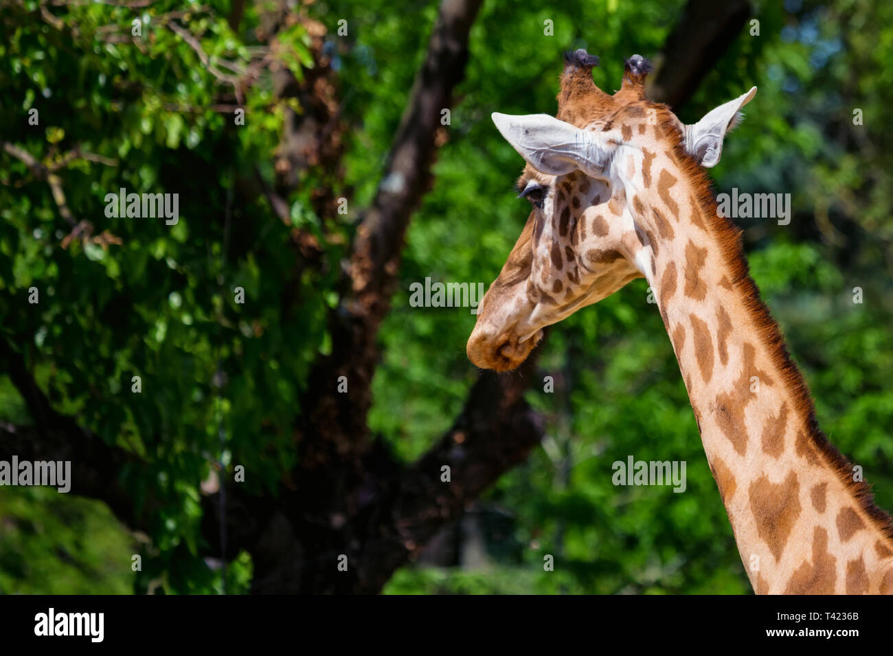 Close up head of Kordofan giraffe or camelopardalis antiquorum - Stock Image