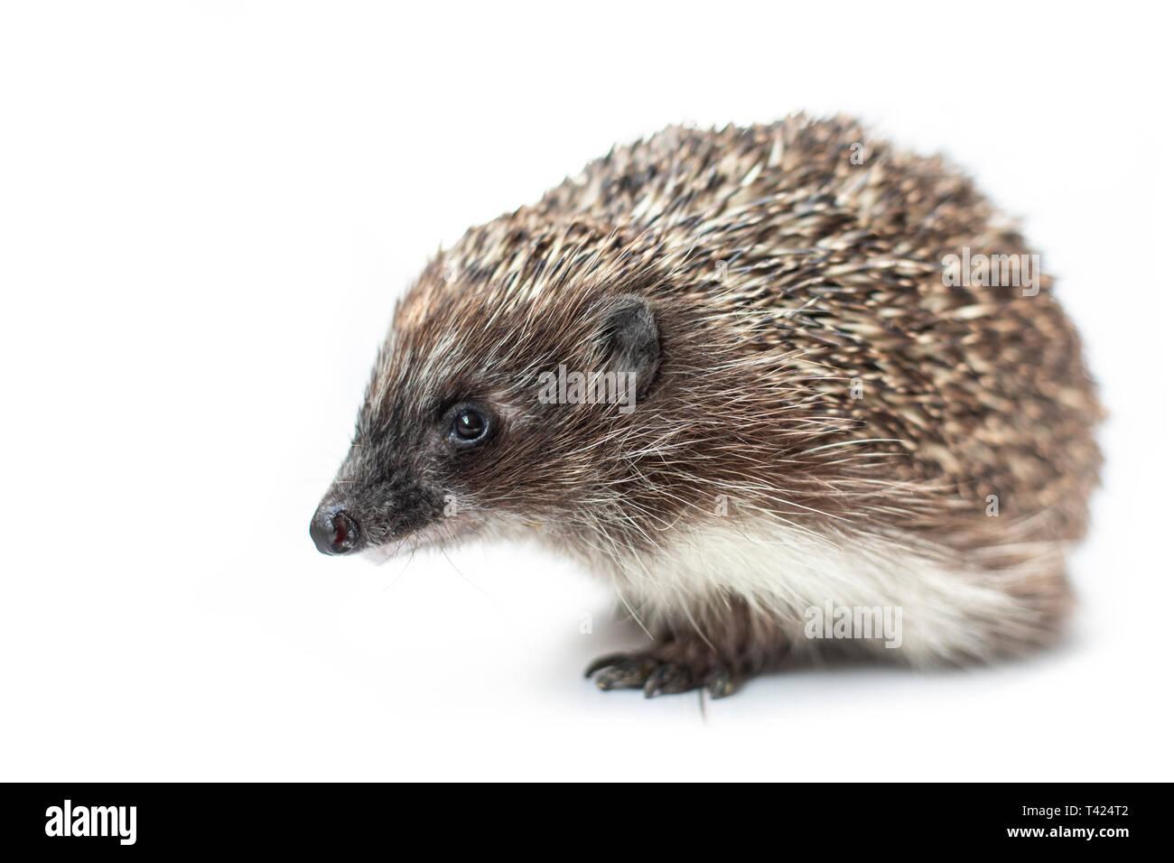 Funny hedgehog isolated on white background - Stock Image