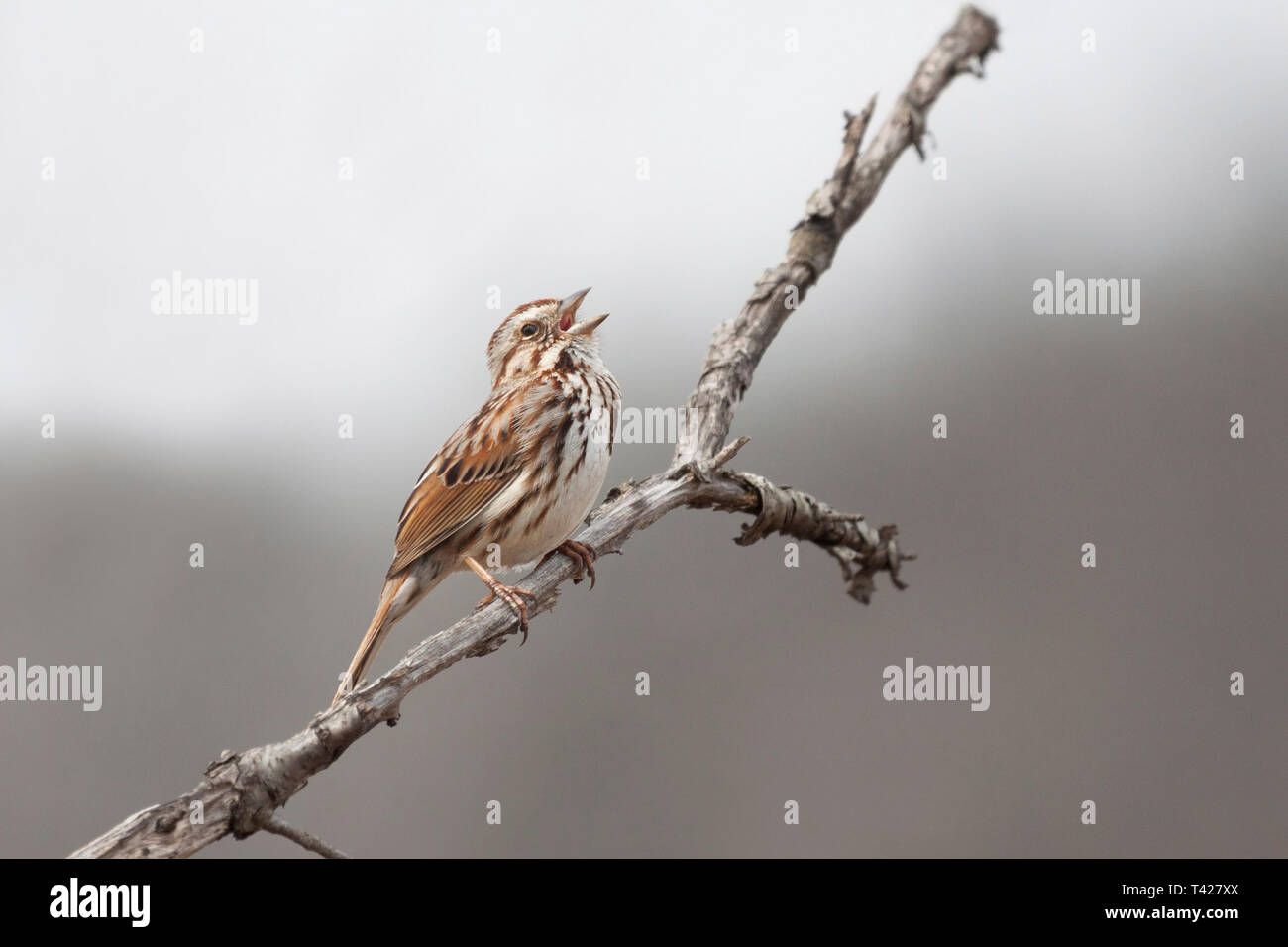 A song sparrow opens it beak to sing a song in the thicket of a prairie. - Stock Image