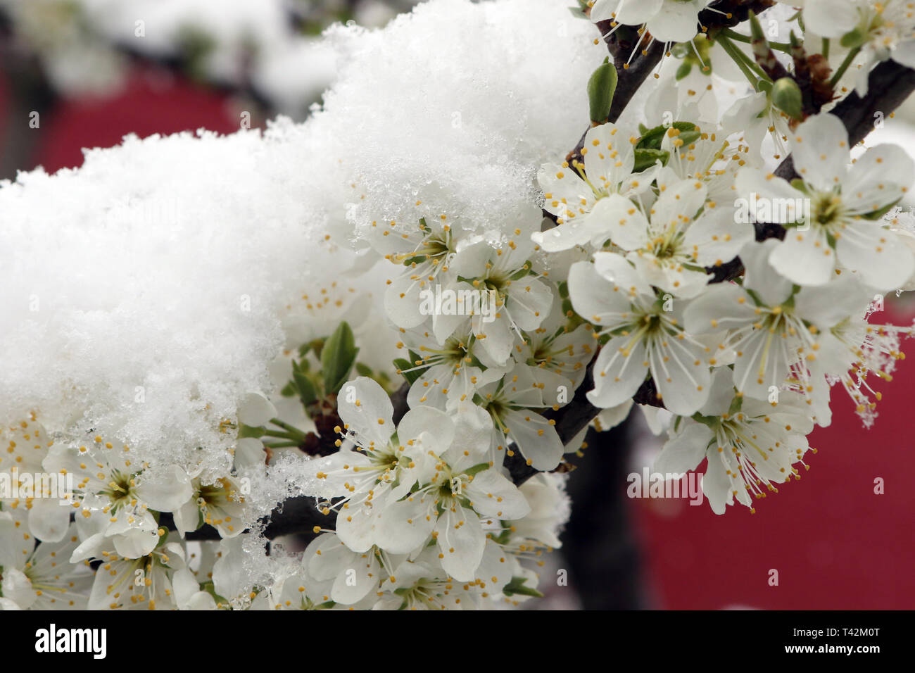 Wernigerode, Germany. 13th Apr, 2019. Ornamental cherry blossoms are covered with a snow cap. Winter returned to Saxony-Anhalt for a brief interlude. Credit: Matthias Bein/dpa-Zentralbild/dpa/Alamy Live News - Stock Image