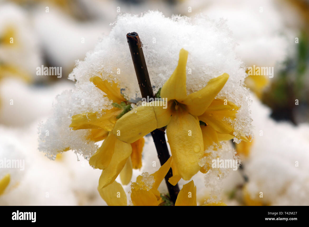 Wenigerode, Germany. 13th Apr, 2019. Forsythia flowers are covered with a snow cap. Winter returned to Saxony-Anhalt for a brief interlude. Credit: Matthias Bein/dpa-Zentralbild/dpa/Alamy Live News - Stock Image