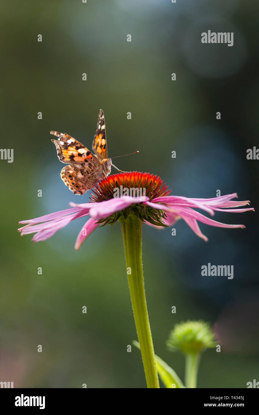 Butterfly drinking nektar from flower, Echinacea purpurea, close up showing butterfly's proboscis ('tongue' or 'straw') - Stock Image
