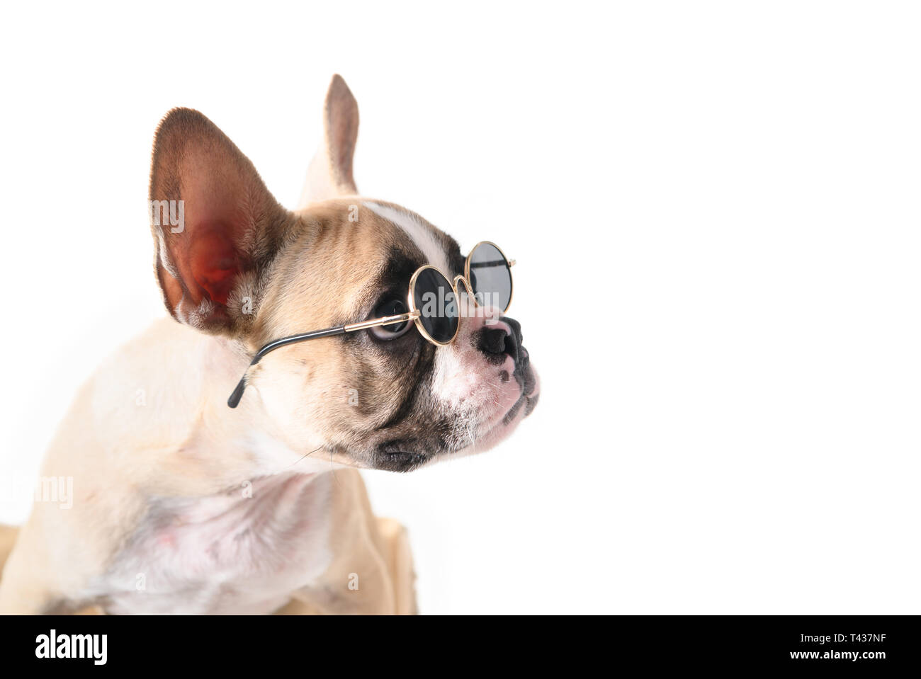 359c2b5b Cute french bulldog wear sunglass looking right side isolated on white  background, pet in summer
