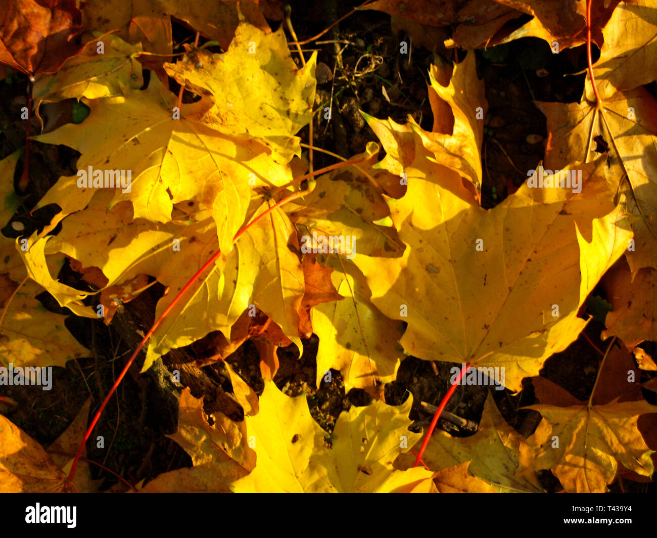 Maple (Acer sp.) Autumn leaves in Westpark, Munich, Bavaria, Germany, Europe Stock Photo
