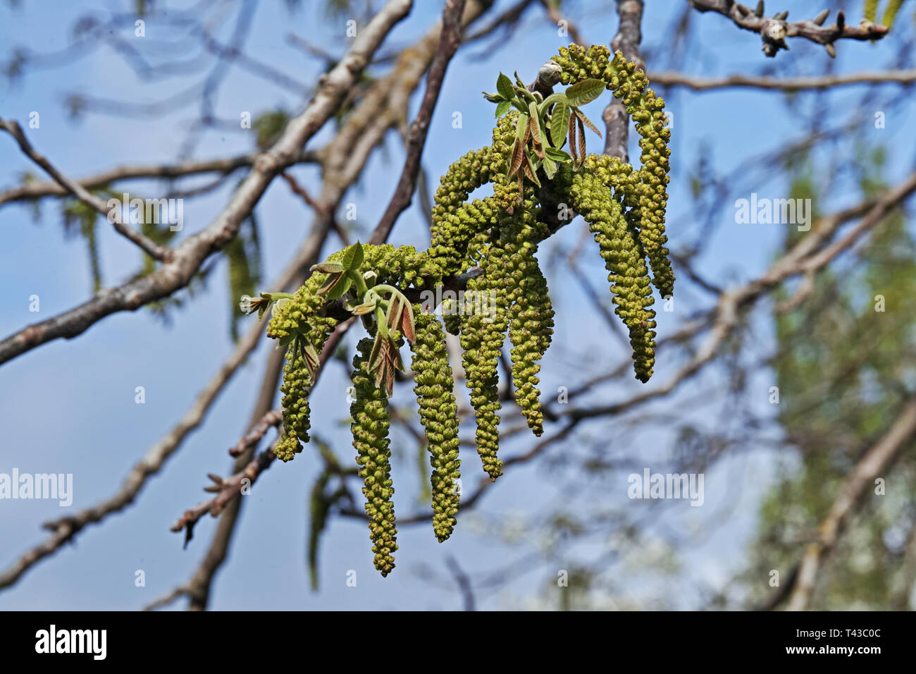 inflorescences and new leaves of walnut tree in springtime Stock Photo
