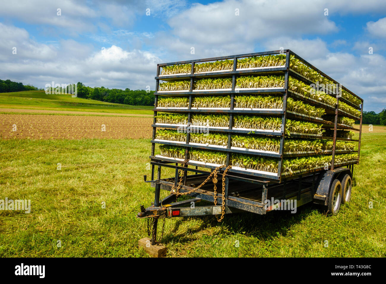 Trailer with tobacco sprouts ready for planting Stock Photo