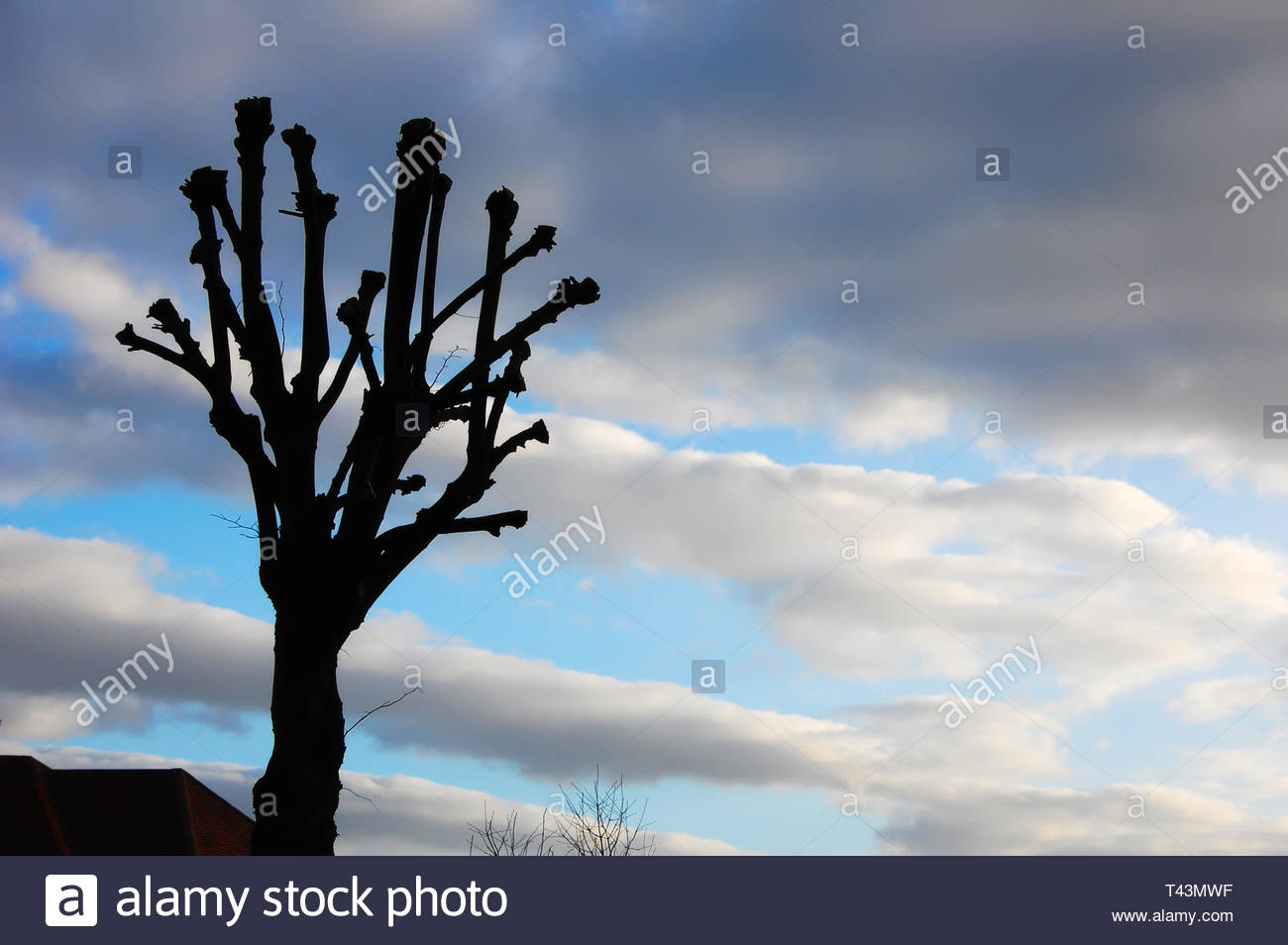 Sillhouetted pruned tree set against soft fluffy clouds in an autumn sunset. Copy space. - Stock Image