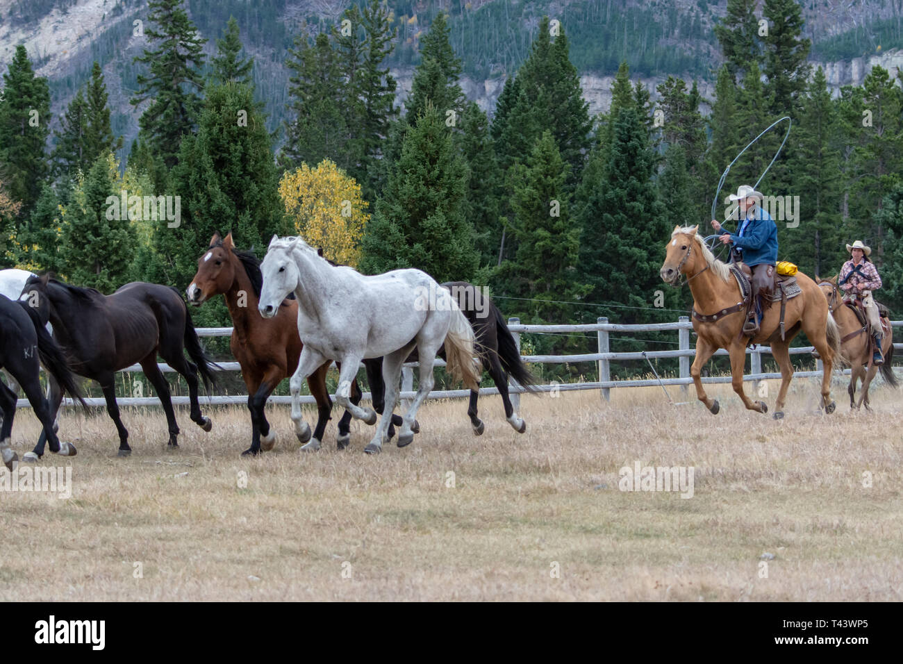 Cowboys lasso horses in the corral - Stock Image