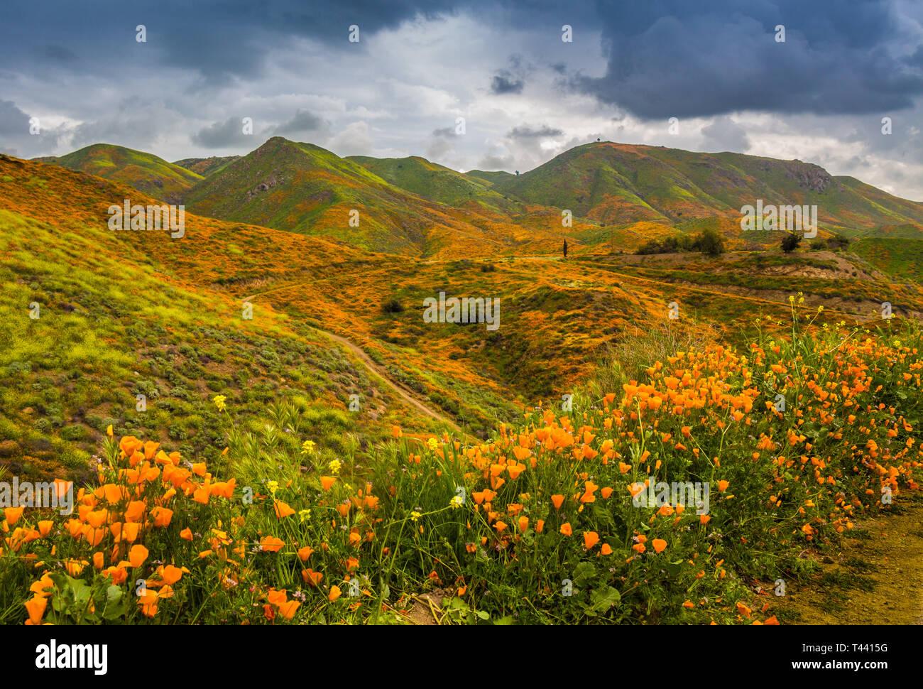 Poppy fields in Southern California. - Stock Image