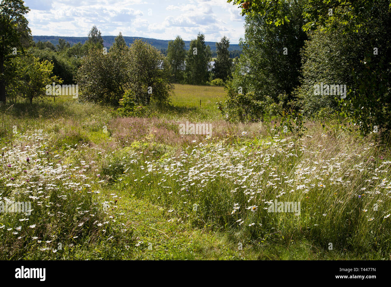 Meadow with wild summer flowers in Dalarna Sweden - Stock Image