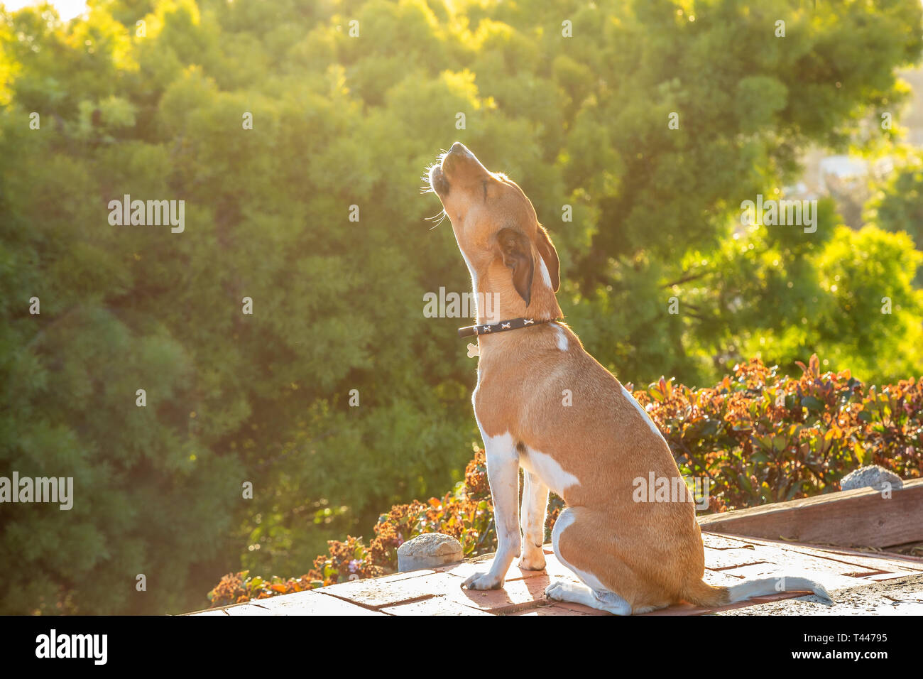 A howling mixed breed dog - Stock Image