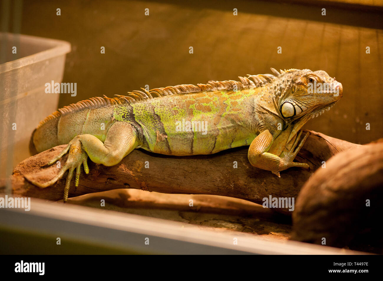 Green iguana, also known as American iguana, is a large, arboreal, lizard. Found in captivity as a pet due to its calm disposition and bright colors.  - Stock Image