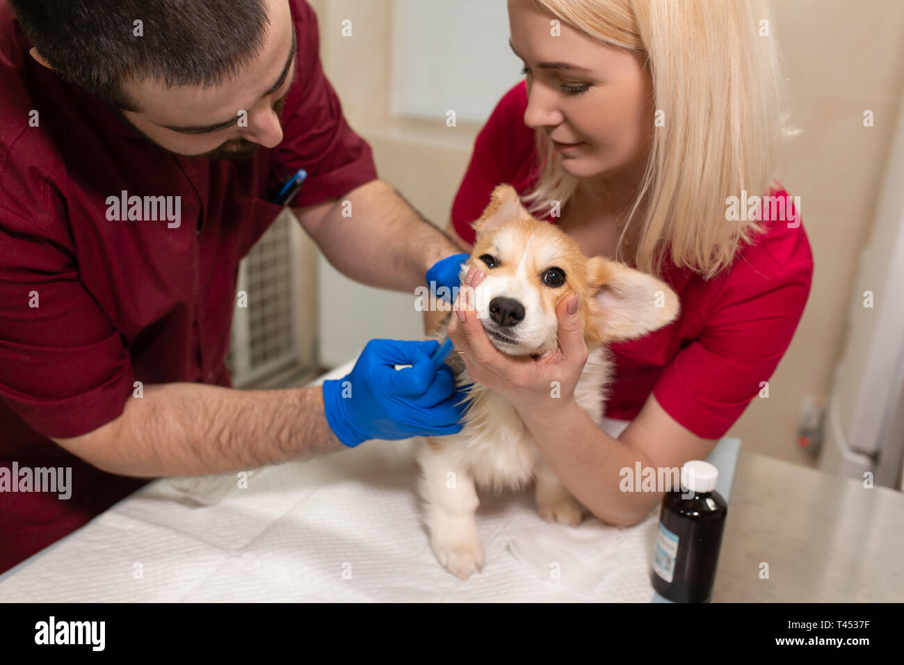 Veterinary doctors exam little corgi dog in manipulation room of pet clinic. Pet health care. - Stock Image