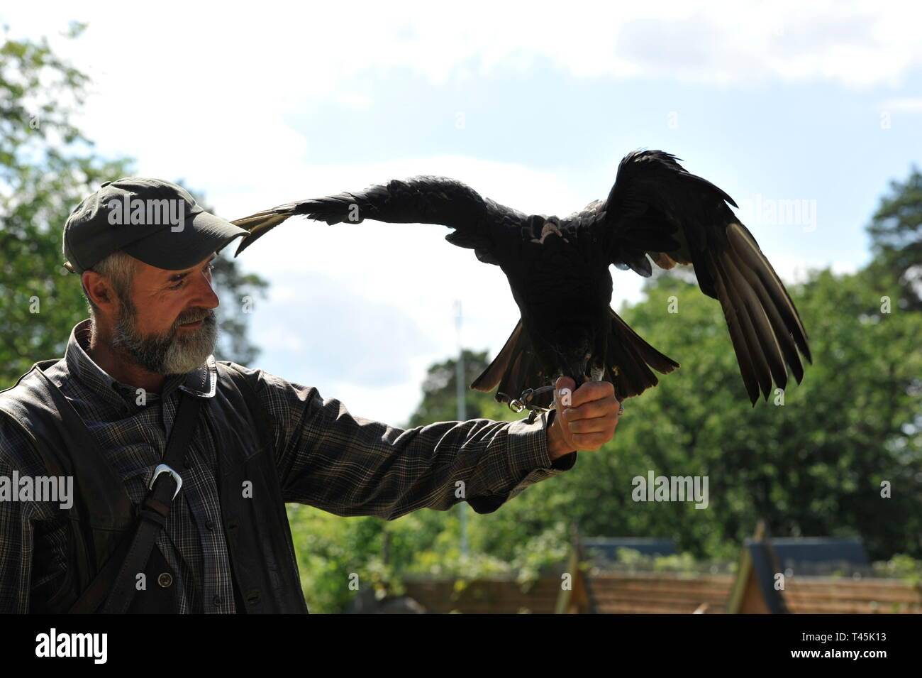 Wildvogel im Falkenhof Harz, inh.Falkner Mursa ,Sachsen  Anhalt.Rabengeier,Coragyps Atratus. Stock Photo