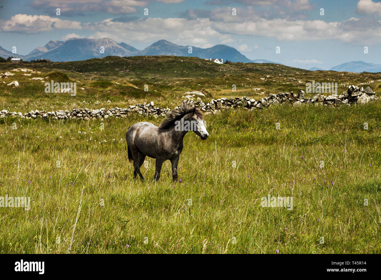 Connemara Pony breed in Irish landscape. A docile, friendly horse the Connemara Pony is sought after worldwide. - Stock Image