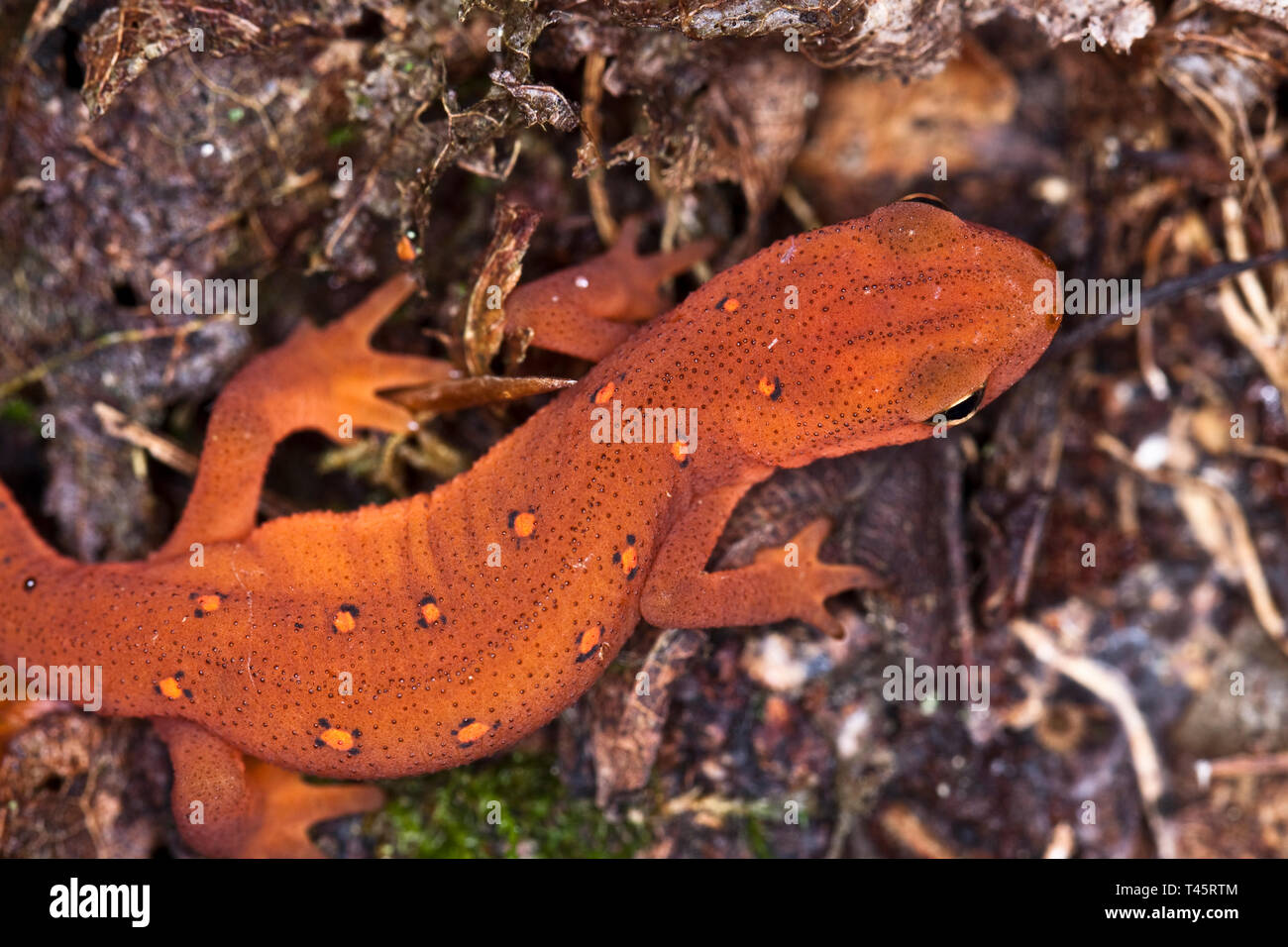 Red spotted newt Stock Photo
