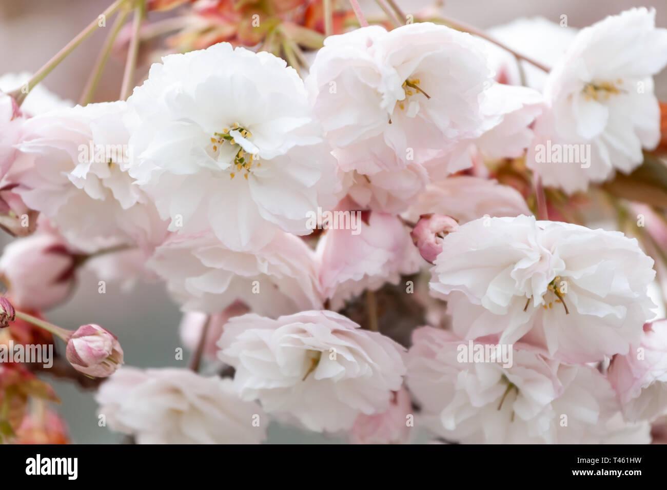 closeup fruit tree pink flowers spring blossom - Stock Image