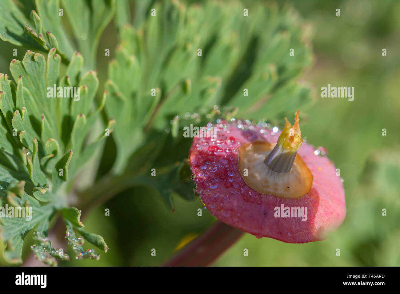 Close up at a young California poppy fruit (Eschscholzia californica) cover with dew. - Stock Image