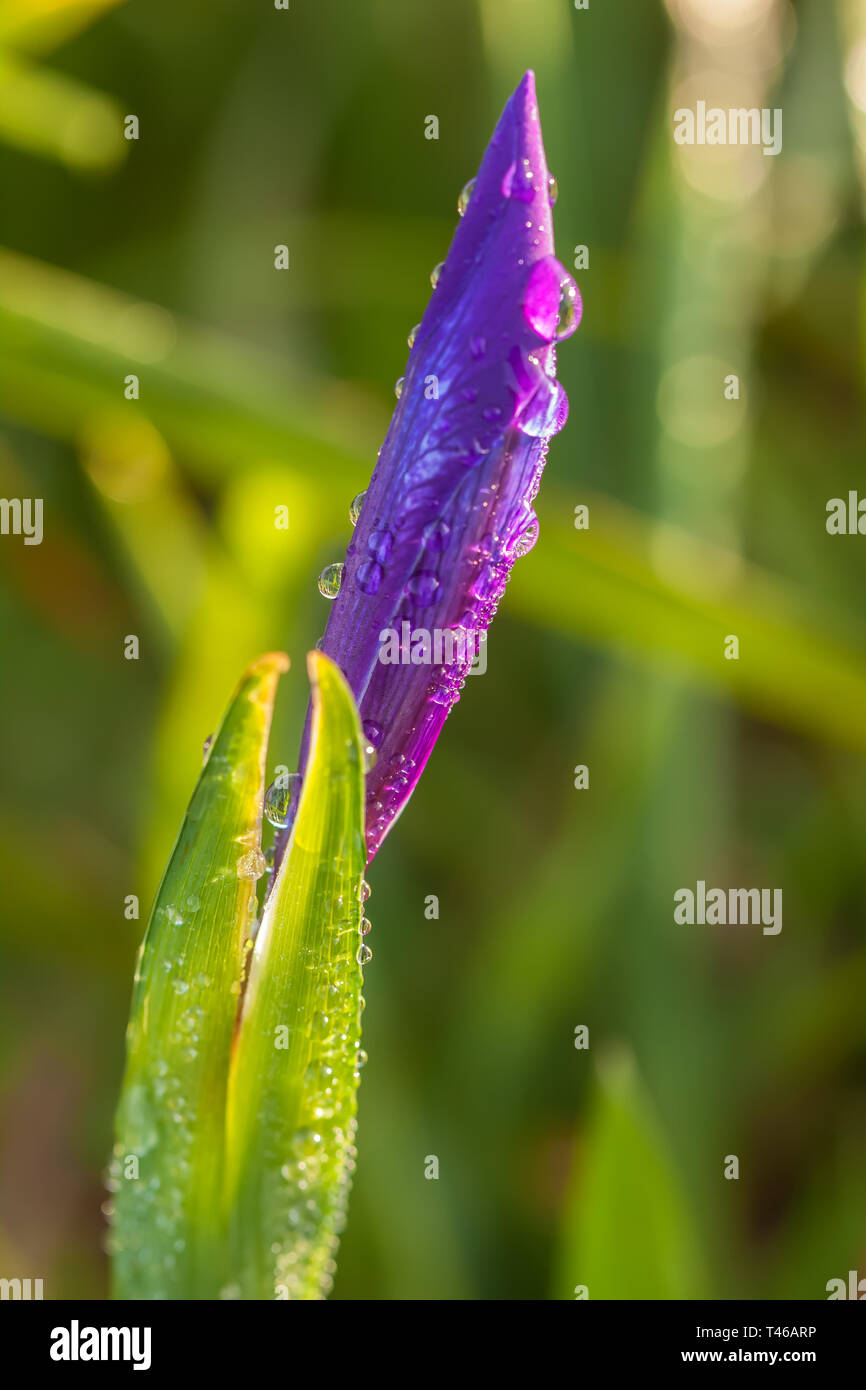 Douglas iris bud covers with early morning dew, Point Reyes National Seashore, California, United States. - Stock Image