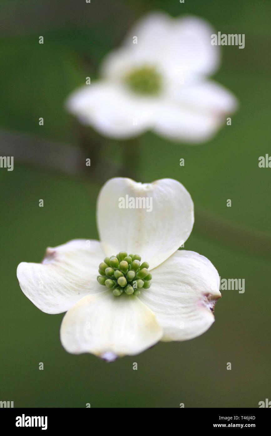 Dogwood Flower Close Up Stock Photo