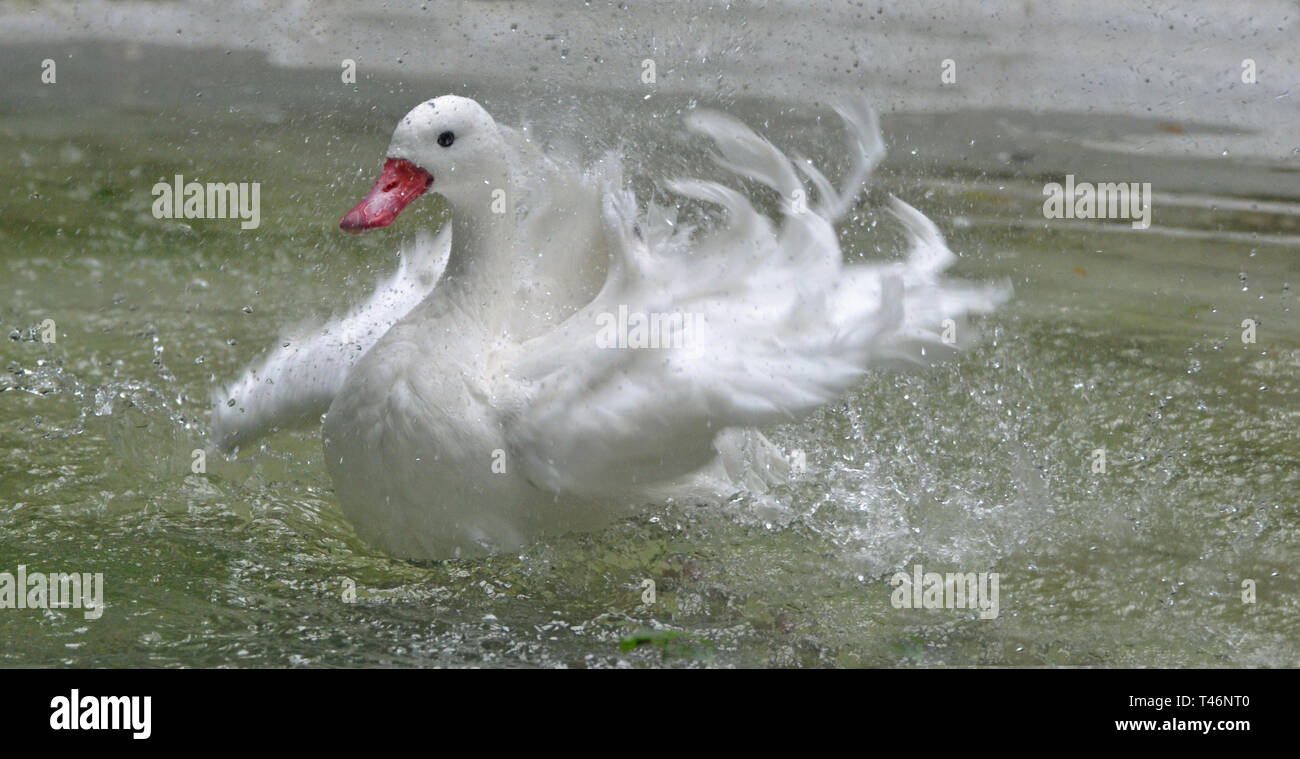 White duck splashing in the water at Cotswold Wildlife Park, Burford, Oxfordshire, UK Stock Photo