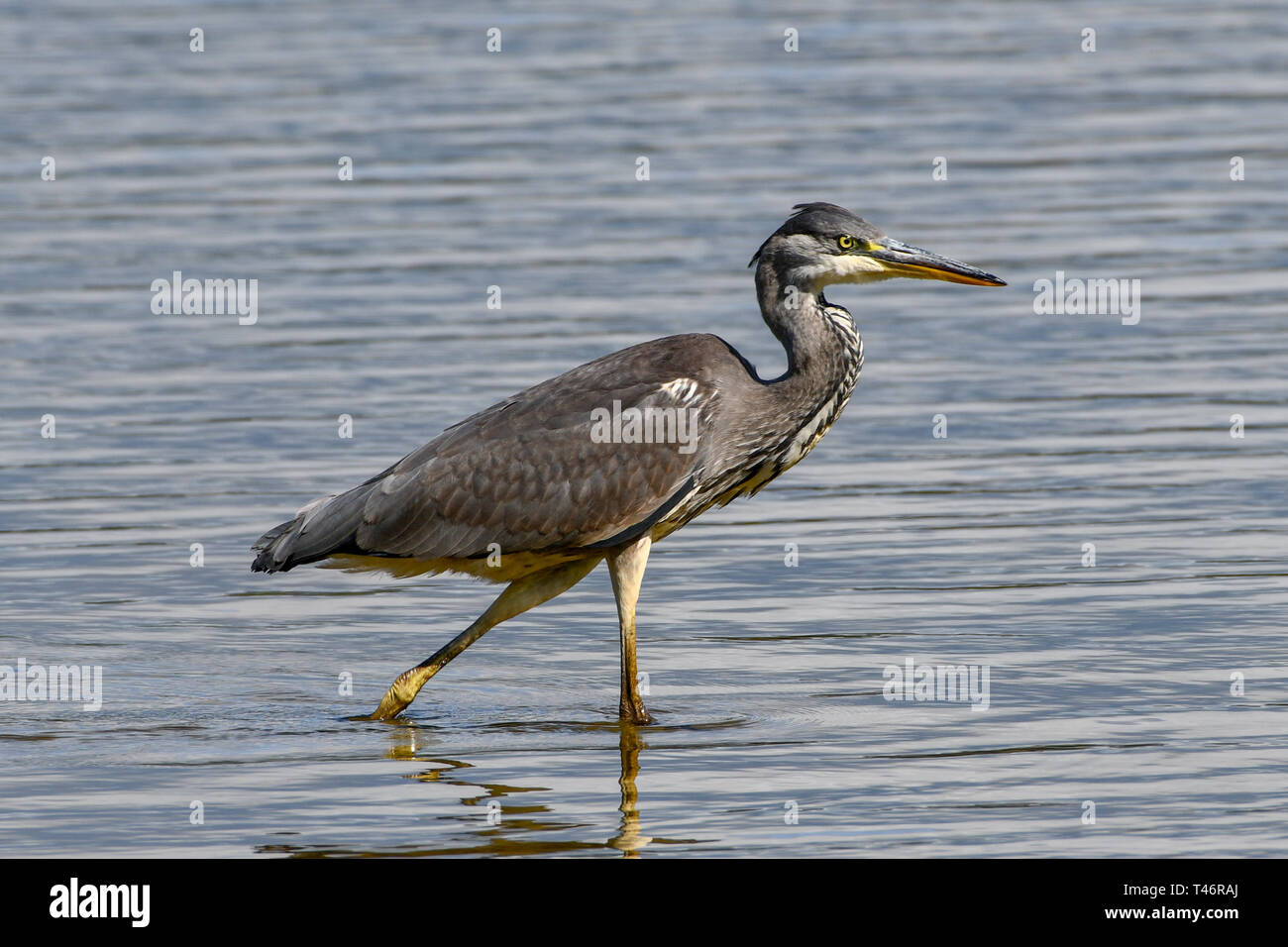 A grey heron wades the shores of Kenfig Pool in search of fish. Kenfig Nature Reserve, Mid-Glamorgan, UK - Stock Image