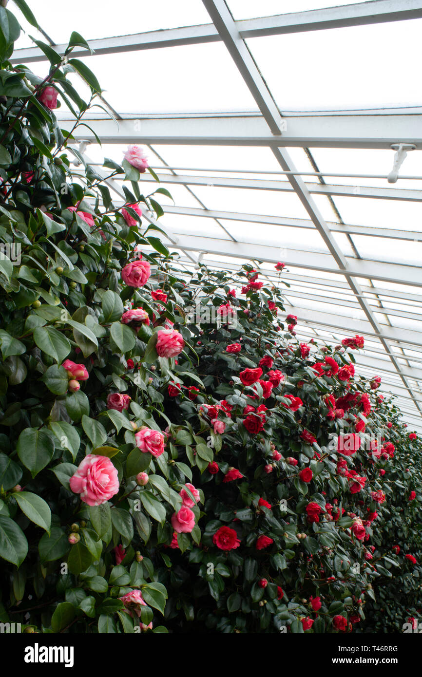 Camellia Japonica Roger Hall red camellia japonica stock photos & red camellia japonica