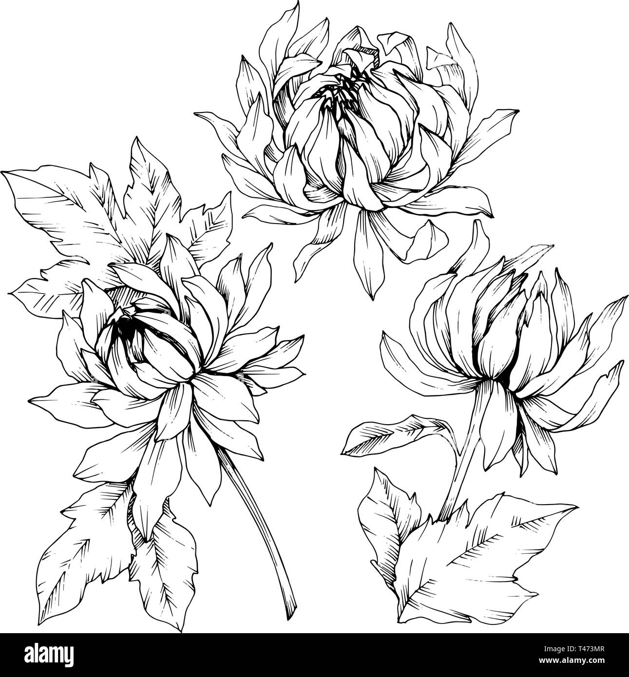 Vector Chrysanthemum Floral Botanical Flowers Black And White Engraved Ink Art Isolated Flower Illustration Element Stock Vector Image Art Alamy