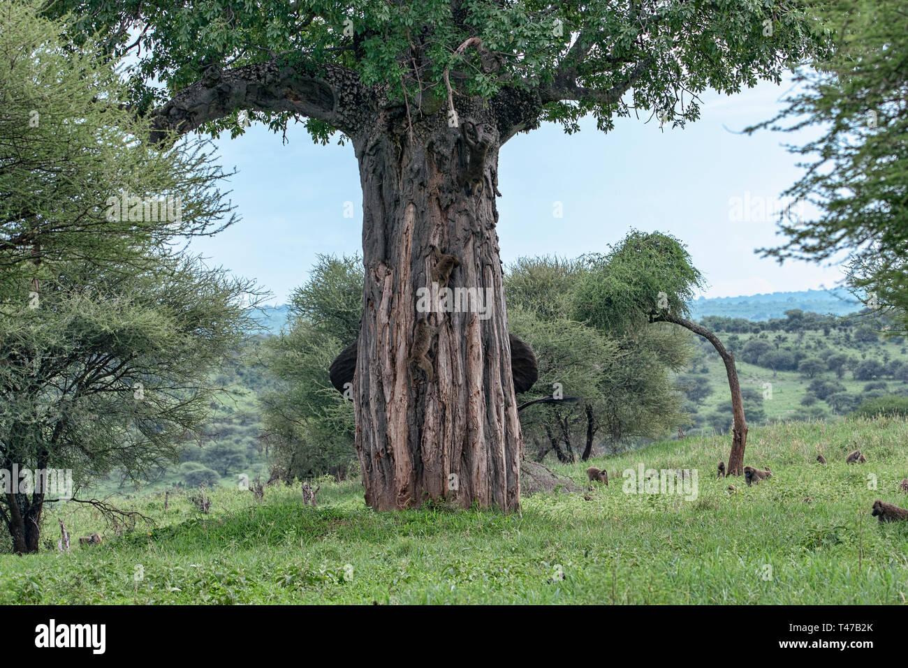Hiding an Elephant - Stock Image