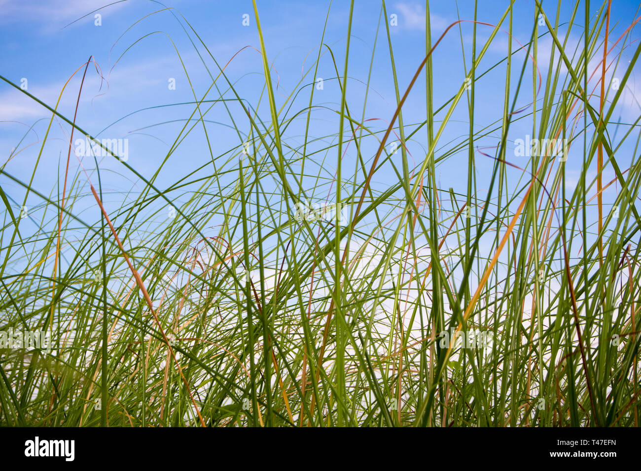 Freshness Vetiver Grass blade in the countryside - Stock Image