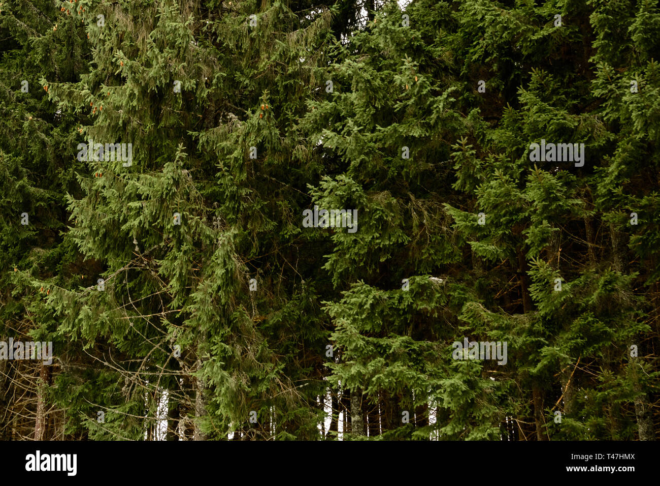 Detailed texture of conifer forest on hill close up, Background of tree tops on mountainside. 2019 - Stock Image