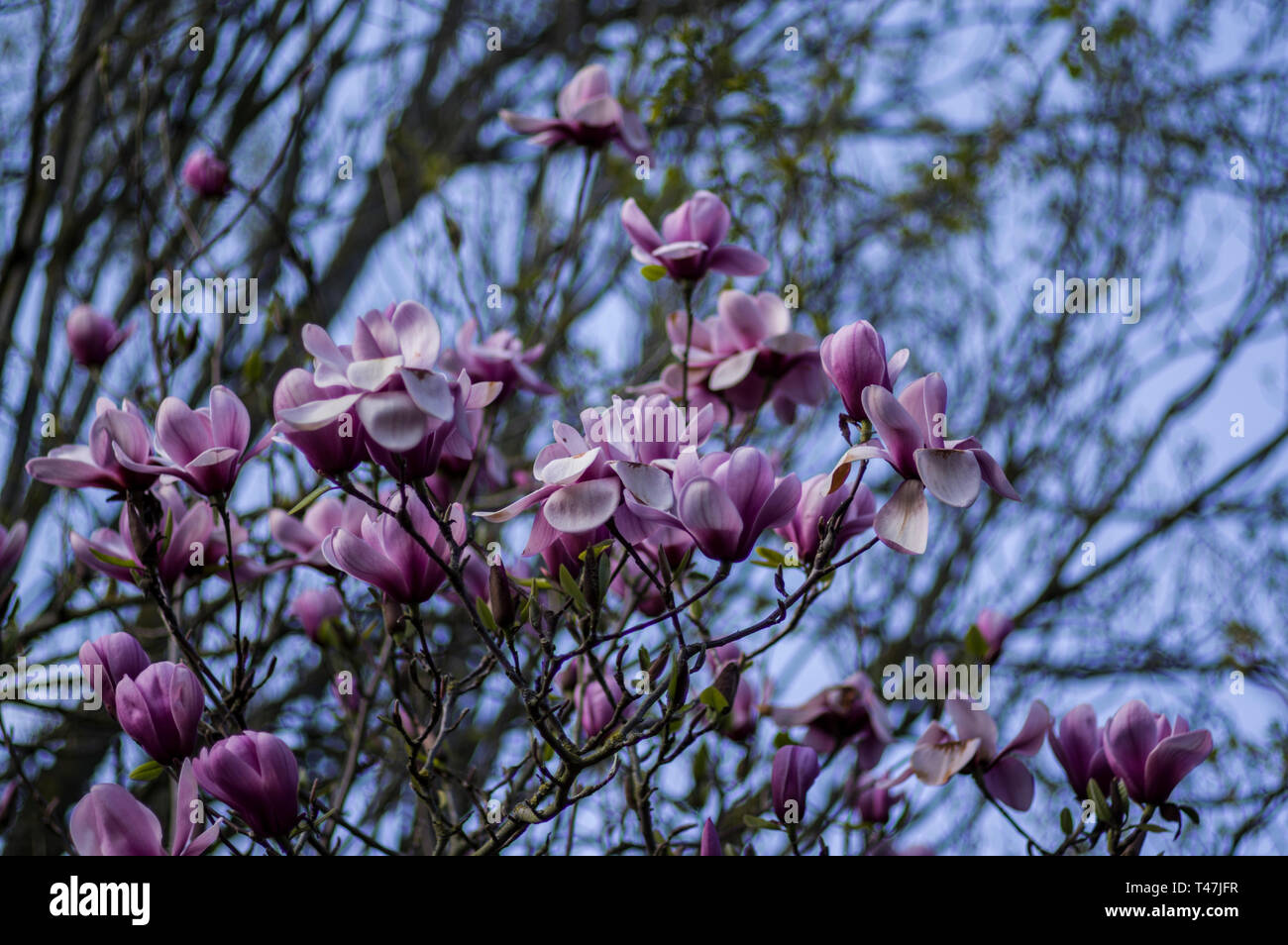 Blossoms and buds of magnolia tree opening in the spring,  subfamily Magnolioideae of the family Magnoliaceae Stock Photo