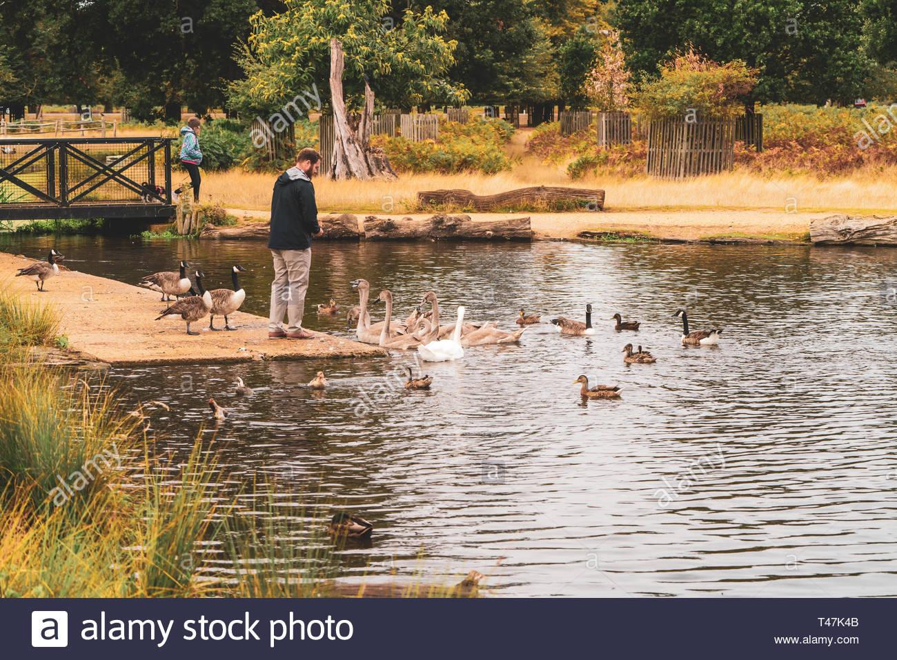 Man feeding birds in bushy park Stock Photo