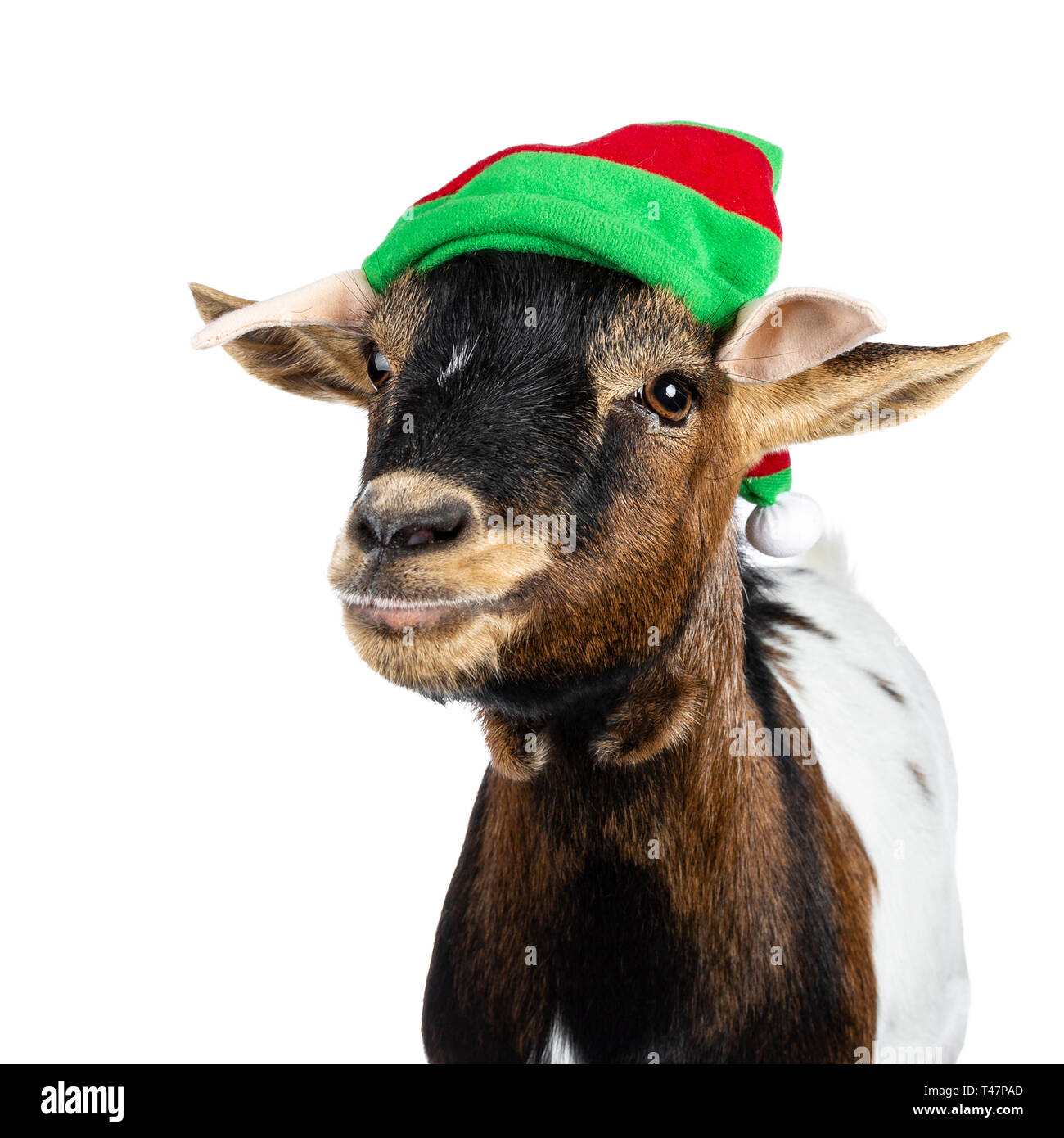 Head shot of funny brown pygmy goat wearing a red and green elf hat. Looking straight at camera side ways. Isolated on white background. Stock Photo
