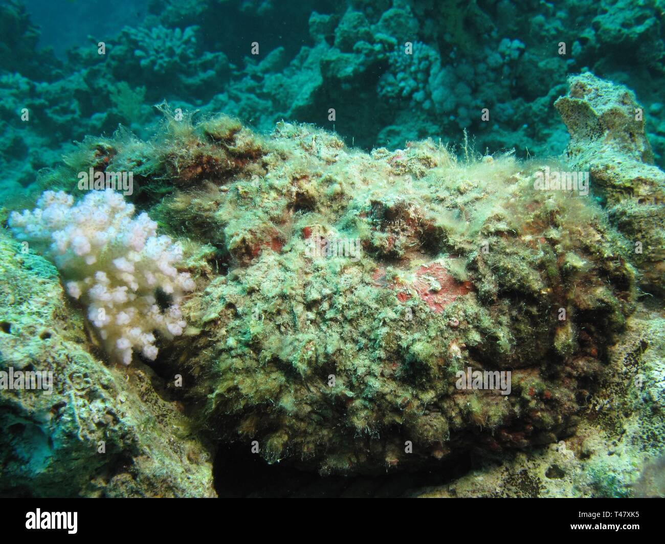 Stonefish (Synanceia verrucosa). Taking in Red Sea, Egypt. - Stock Image