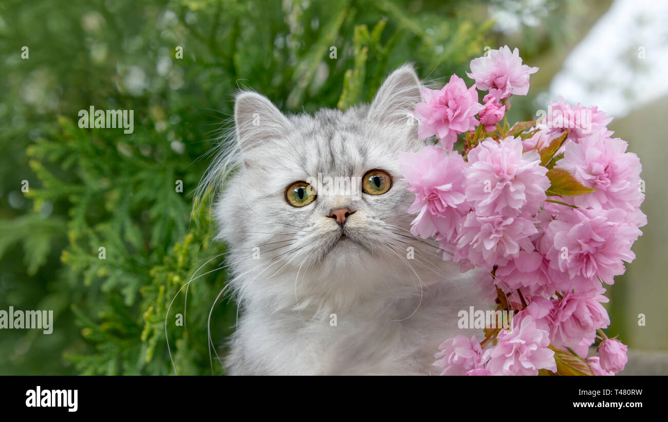 Cute British Longhair cat kitten, black-silver-spotted-tabby, looking curiously, portrait with pink flowering cherry blossoms in a garden in spring Stock Photo