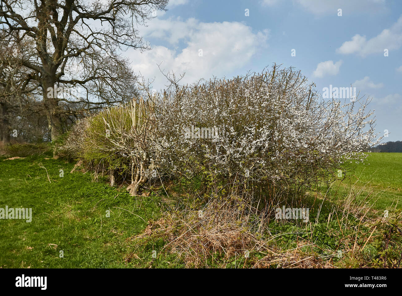 Hawthorne hedge in blossom during an English spring, Surrey, England, United Kingdom, Europe Stock Photo
