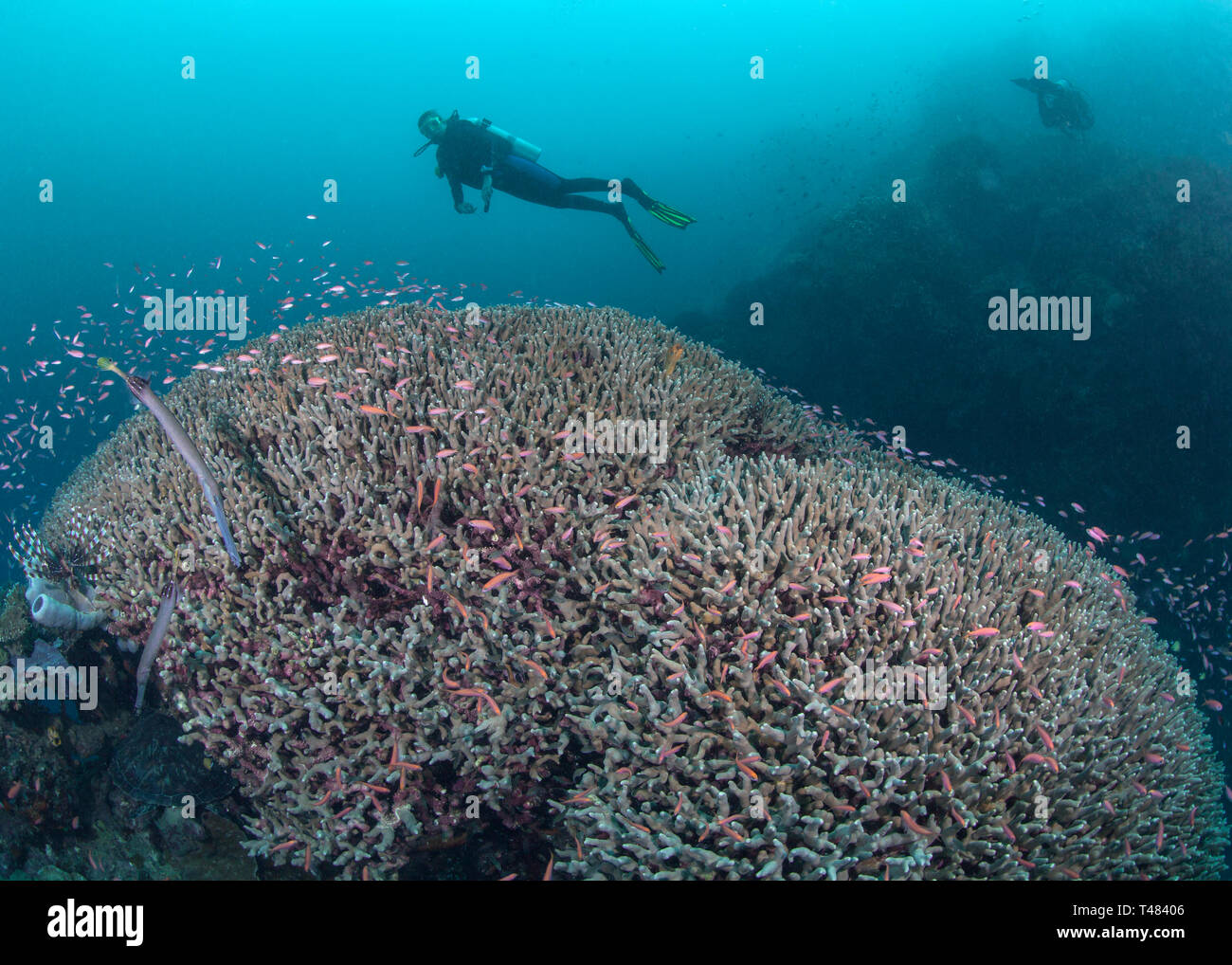 Female scuba diver gazes at two staghorn coral domes covered with colorful tropical reef fish. Bunaken Island, Indonesia. Stock Photo