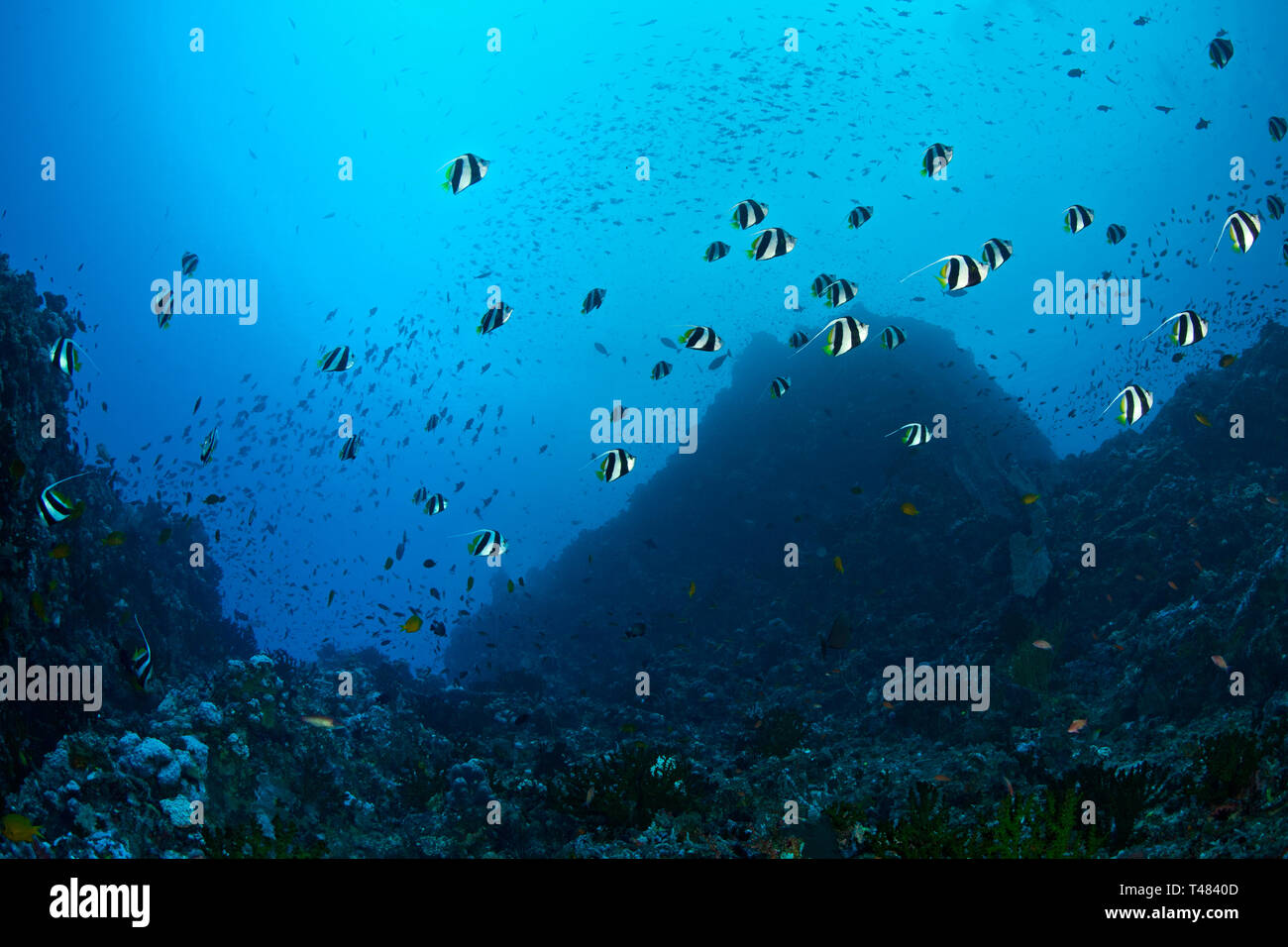 School of Bannerfish, Heniochus diphreutes, in canyon seascape, Verde Island Passage, Philippines. Stock Photo