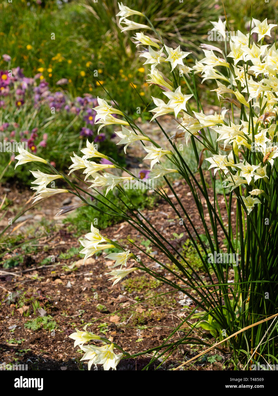 Cream flowered trumpets of the South African, half hardy corm, Gladiolus tristis, in a mid spring display - Stock Image