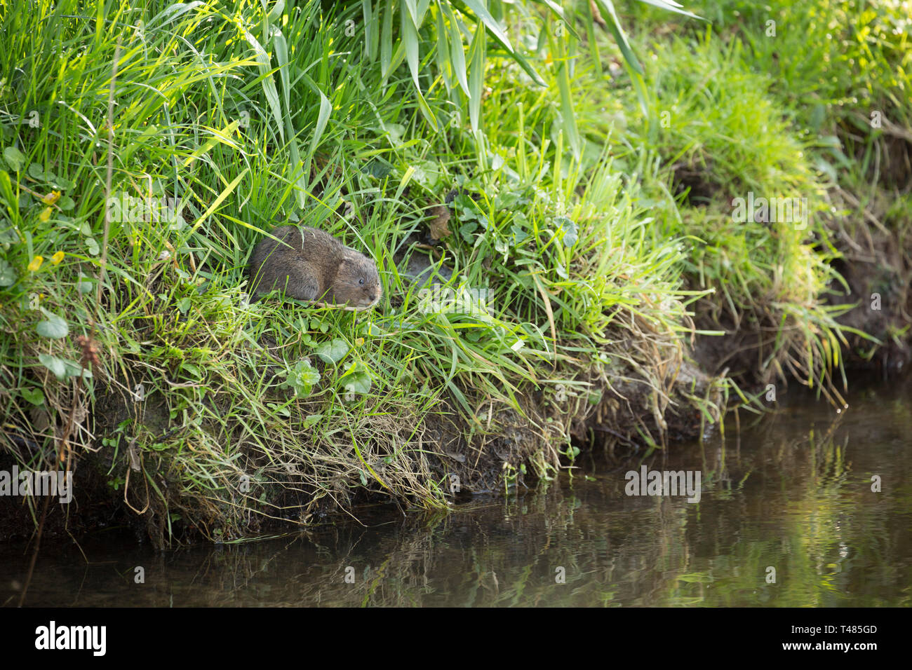 A wild, non captive water vole, Arvicola amphibius, on the banks of the Dorset Stour River in Gillingham Dorset England UK GB in April. The population - Stock Image
