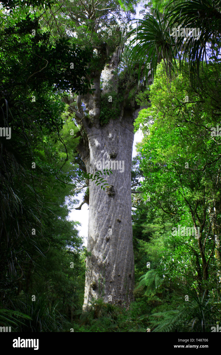 Tāne Mahuta, giant kauri tree (Agathis australis) in the Waipoua Forest of Northland Region, New Zealand - Stock Image