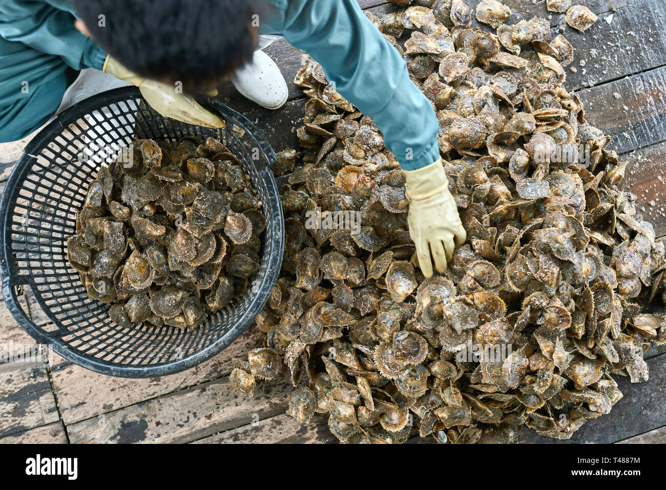 Mollusk sorting process on oyster farm in Vietnam - Stock Image