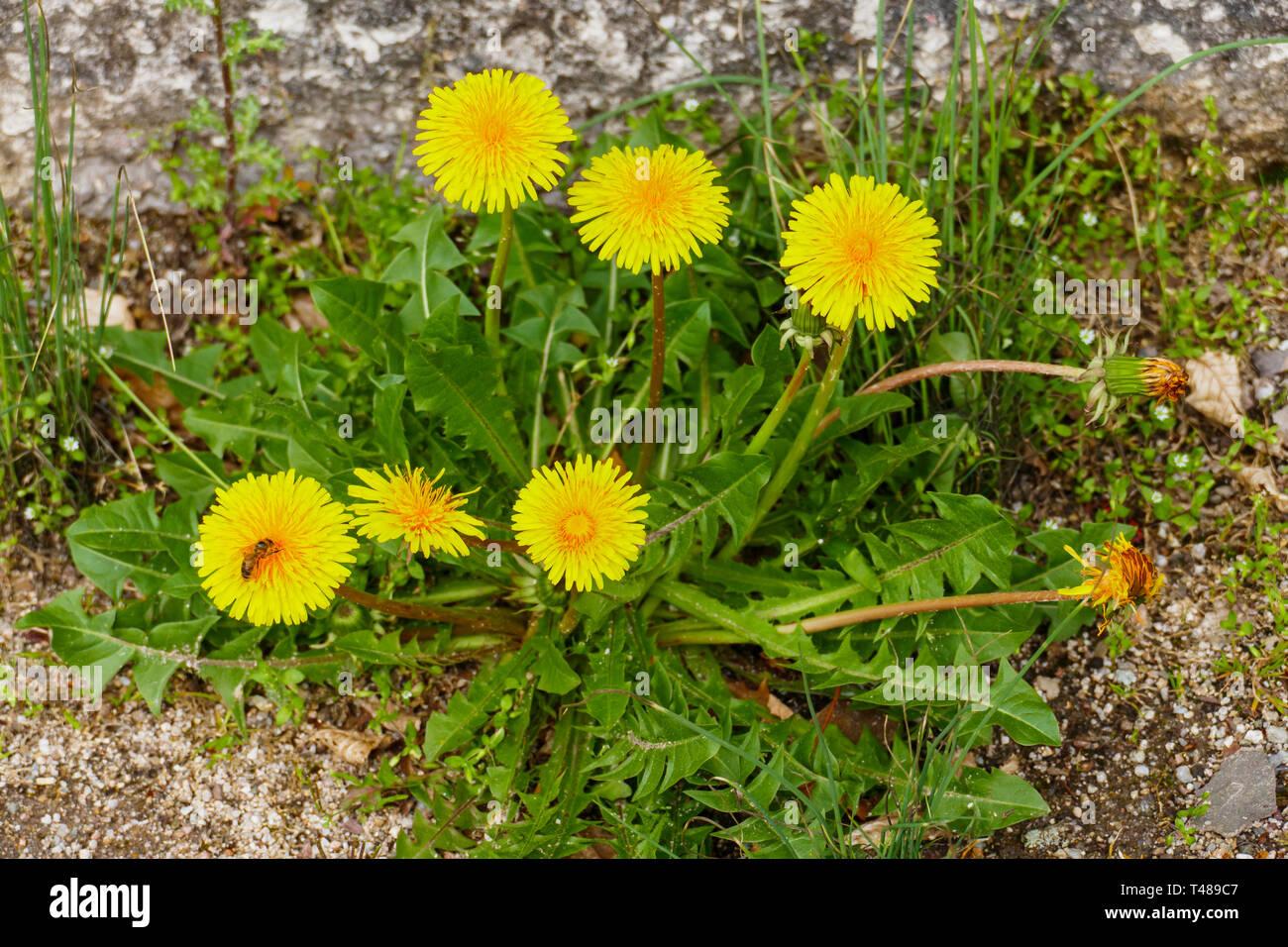 Löwenzahn mit gelber Blüte und grünen Blättern Stock Photo