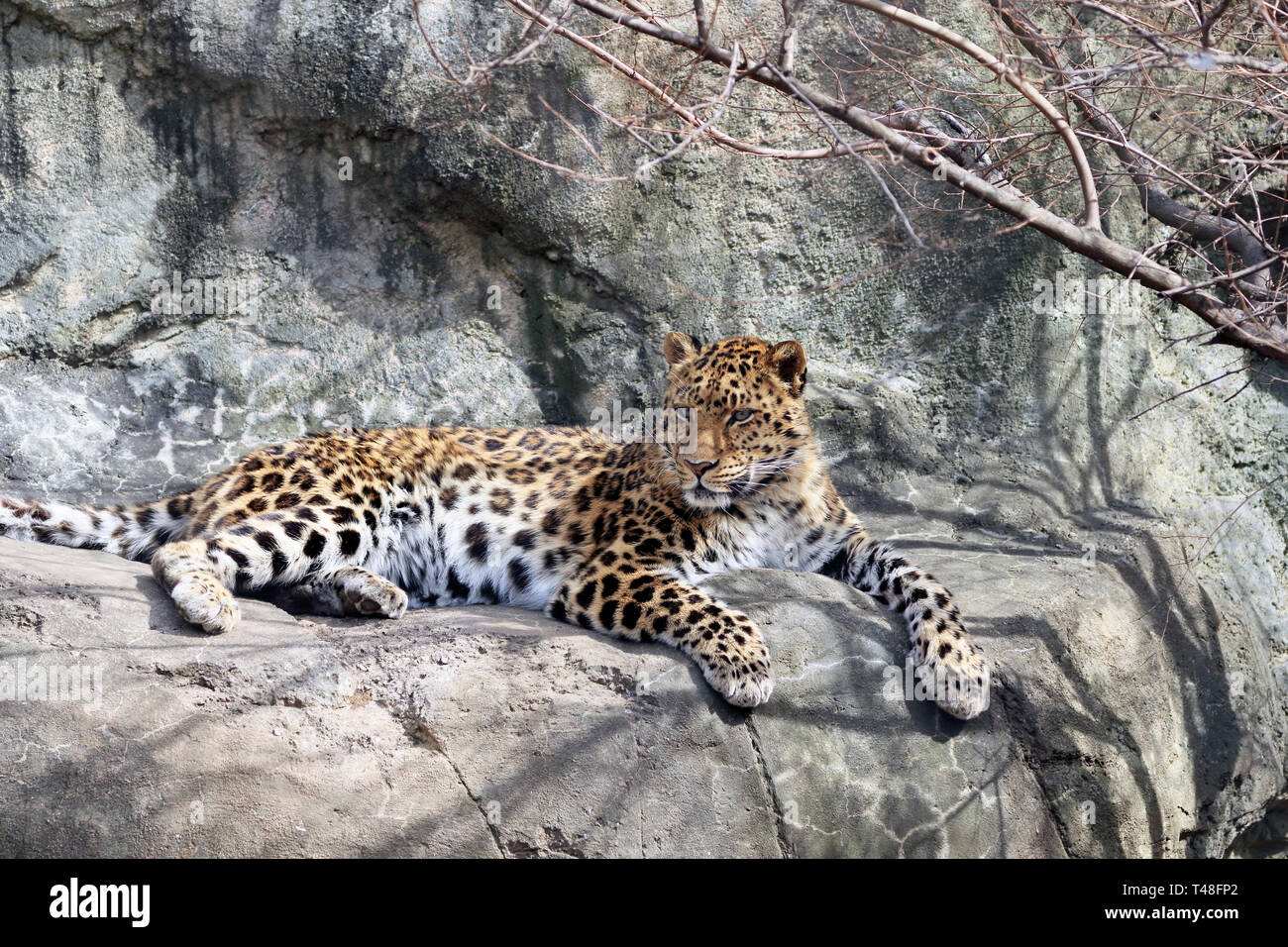 Amur Leopard, Panthera pardus orientalis, Turtle Back Zoo, West Orange, New Jersey, USA - Stock Image