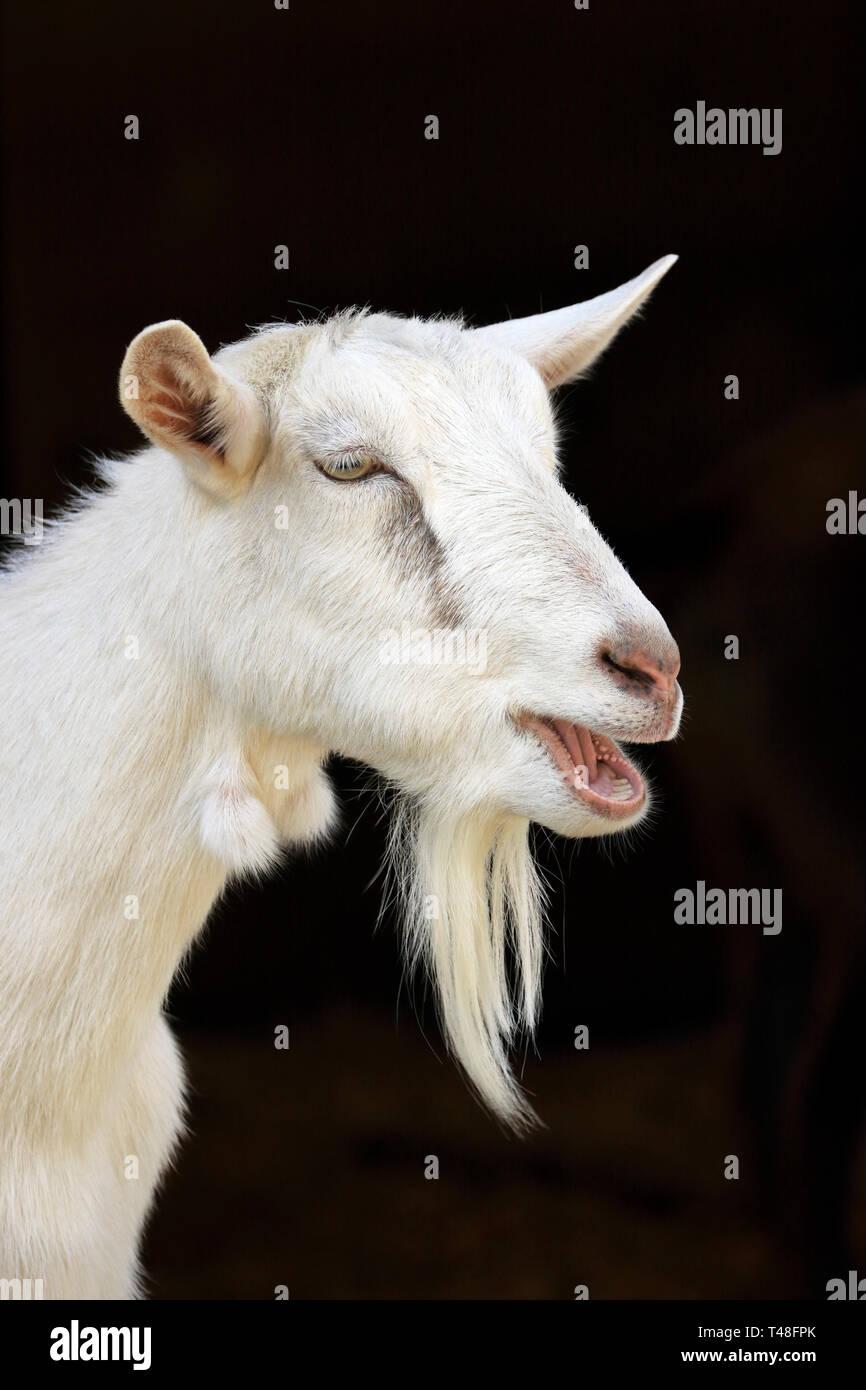 Portrait of a Goat - Stock Image