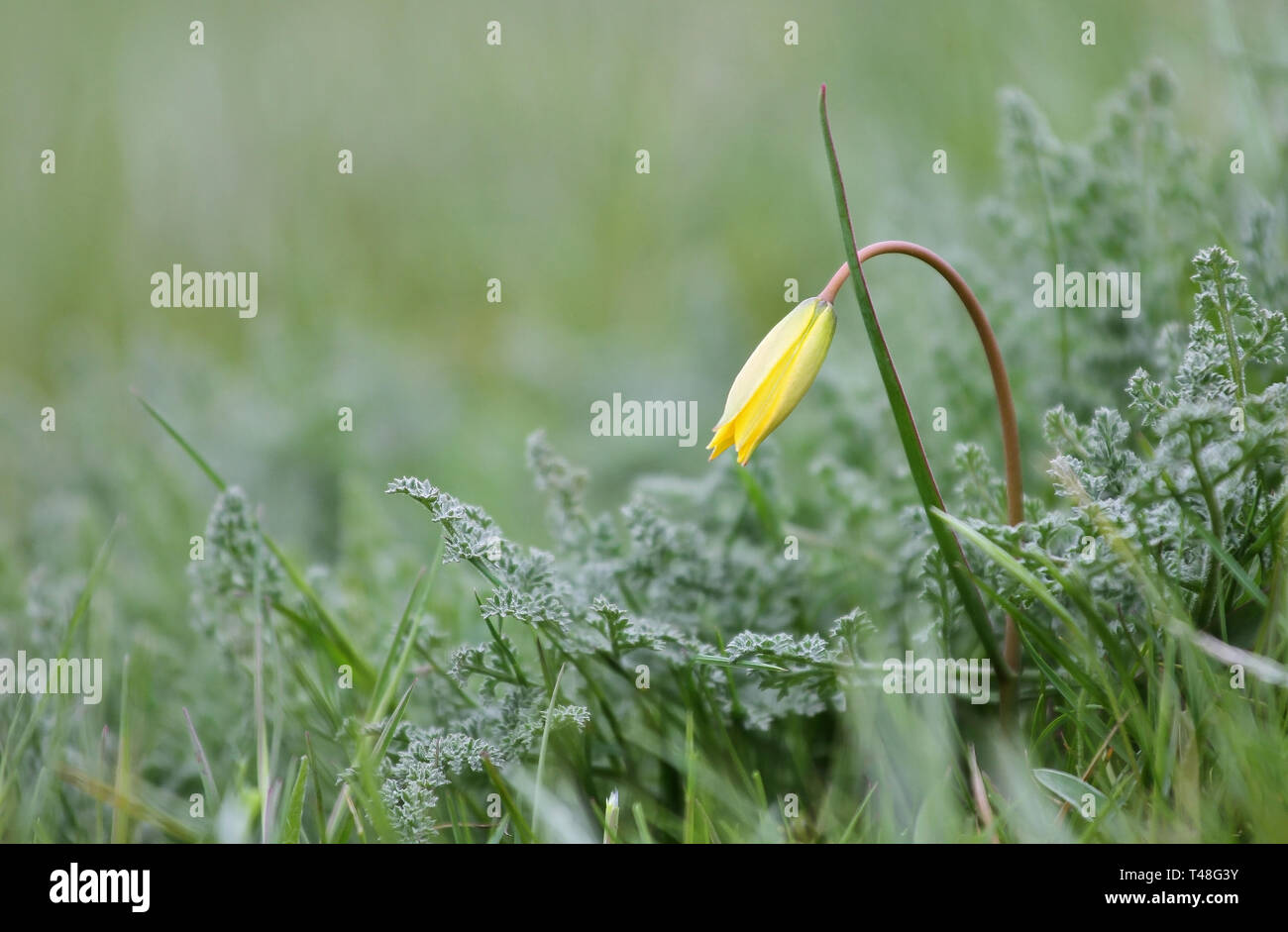 Delicate background, wild tulip in the steppe, Bieberstein tulip, yellow flower on a gentle background - Stock Image